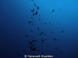 Fish silhouettes in deep blue by Hansruedi Wuersten
